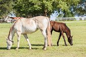 foto of colt  - Horse mare and foal colt on stud farm field - JPG
