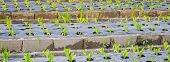 Sunrise Over A Field Of Young Fresh Green Maize Plants