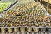 Young Seedlings Plants In Tray