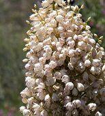 Mojave Yucca Blossoms