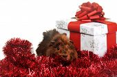 pic of porpoise  - brown guinea pig and red garland with gift - JPG