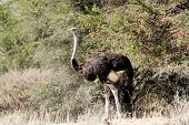 Ostrich Struthio Camelus, In Namibia