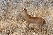 Steenbok, Etosha National Park, Namibia