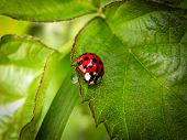 Red and Black Ladybird Beetle.