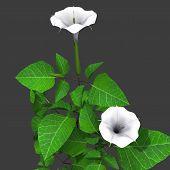 Datura plant