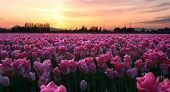 Pink Tulip Sunset