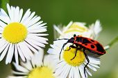 bug and chamomile