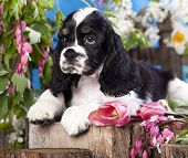 Puppy American Cocker Spaniel and flowers
