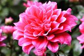 pic of raindrops  - Dahlia flower and raindrop - JPG