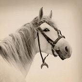 Tersk Stallion