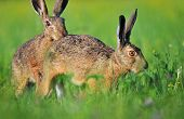 Two brown hare