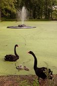 stock photo of manor  - Family of the black swans (Cygnus atratus) in the pool of Taujenai manor Lithuania