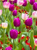 Close Up Of Beautiful Tulips