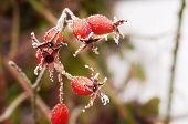 Wild Rose Covered With Hoarfrost