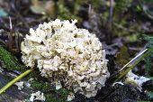 Cauliflower Fungus (sparassis Crispa)
