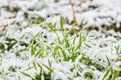 Wet Snow On The Green Grass In Winter