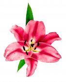 Pink Lily Blossom. Fresh Flower Head