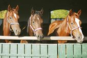 stock photo of thoroughbred  - Beautiful thoroughbred horses at the barn door - JPG
