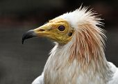 Head of egyptian vulture over dark background