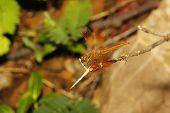 Orange Dragonfly In Garden Thailand