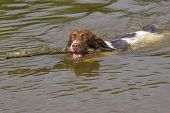 Springer Spaniel Dog Fetching Stick