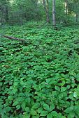 foto of winnebago  - Dense understory vegetation covers the forest floor at Rock Cut State Park in Illinois - JPG