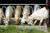 stock photo of eat grass  - white goats eating grass on the farm - JPG