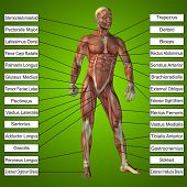 image of triceps brachii  - Concept or conceptual 3D male or human anatomy - JPG
