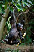 Bonobo Cub.