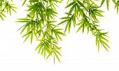 picture of bamboo leaves  - Green bamboo leaves isolated on white background - JPG