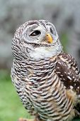 stock photo of hooters  - A barred owl Strix varia is looking behind - JPG