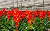 pic of horticulture  - Red blooming bromeliad plants in a Dutch greenhouse horticulture company that specializes in houseplants