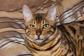 stock photo of cat-tail  - Cat Bengal breed - JPG