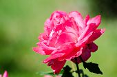 foto of rosary  - Rosa - JPG