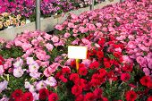 stock photo of petunia  - Pink and red Petunias in the great greenhouse inside - JPG