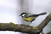 image of tit  - Wildlife in a garden: a great tit (Parus major)
