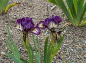 stock photo of purple iris  - Two purple and yellow irises grow in full bloom side by side - JPG