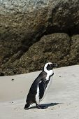 stock photo of jackass  - African Penguins  - JPG