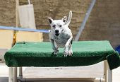 picture of pitbull  - A white pitbull dog jumping off the dock into the pool - JPG