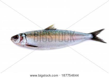 fresh herring fish