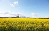 Campo amarelo contra o céu azul