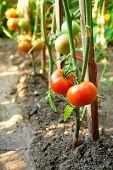 Bio-Tomaten auf Zweig