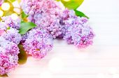 Постер, плакат: Lilac flowers bunch on white planks wood background Beautiful violet Lilac flower still life Easter