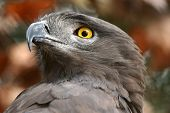 Brown Snake Eagle Portrait