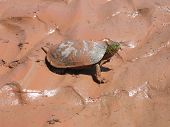 stock photo of cooter  - side view of muddy turtle - JPG