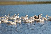 A flock of white Domestic Geese swimming in lake in afternoon, Tasmania, Australia. Domesticated gre poster