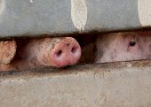 Nose and eye of a pig through a fence