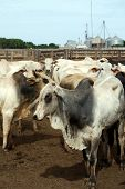 Zebu cattle at a huge ranch in Brazil, where cattle ranching is the biggest cause of deforestation