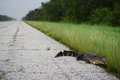 NEW ORLEANS - SEPT 1: An alligator crawls along an empty freeway during a curfew imposed because of