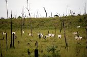Recently cut and burned rainforest turned into a cattle ranch in the Brazilian Amazon, where cattle